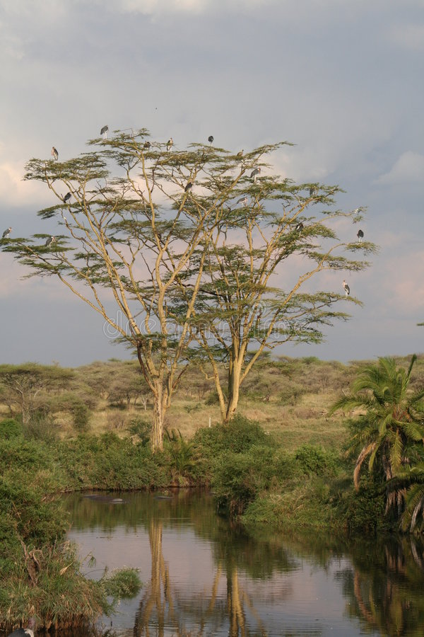 Herons in tree with reflection in pond stock photos