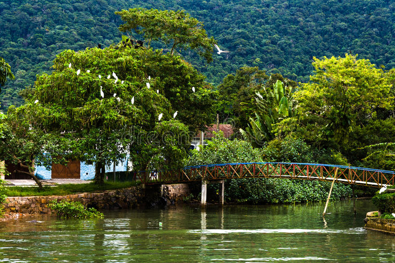Herons on tress. Many big white birds, herons, on tress in a region of tropical forest, Ubatuba, Brazil, with a cute bridge stock photography