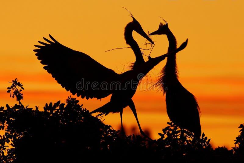 herons två Förälskelse på trädet med orange solnedgång Djurlivplats från naturen Härlig fågel på vaggaklippan Härliga fåglar in royaltyfri foto