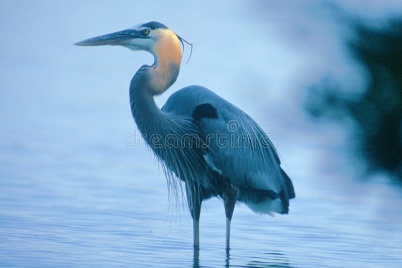 Download Heronstanding fotografering för bildbyråer. Bild av waddling - 40649