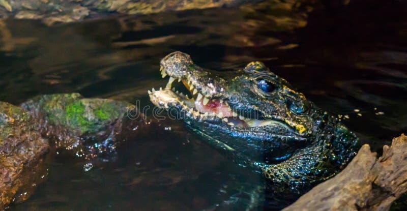 Herpetoculture, die een dwergkaaimanalligator wat vlees, krokodil voeden die voedsel, gezicht eten van een krokodil boven het wat royalty-vrije stock afbeelding