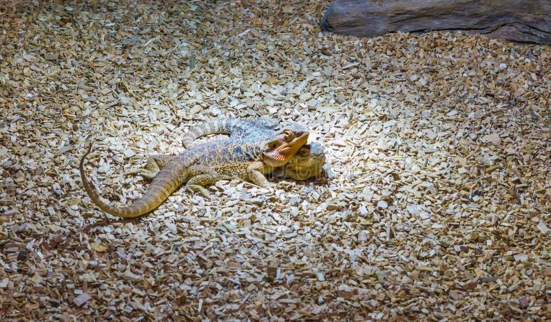 Herpetoculture två skäggiga drakeödlor som är mycket nära tillsammans, populära reptilhusdjur från Australien royaltyfri foto