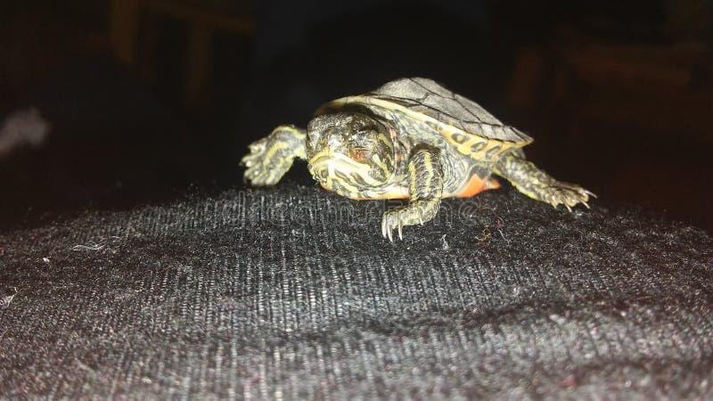 Herr Behandla som ett barn sköldpaddan royaltyfri fotografi