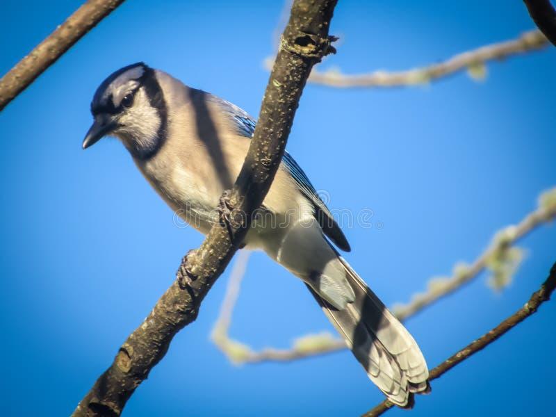 Herr Blue Jay, das im Baum sitzt stockfotografie