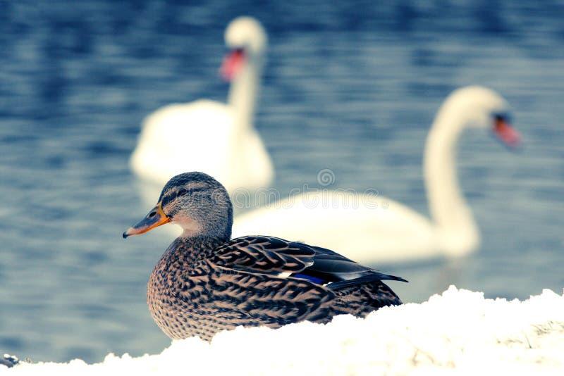 Herr Duck arkivfoton
