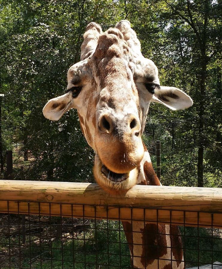 Herr Giraff som bor på en zoo royaltyfri bild