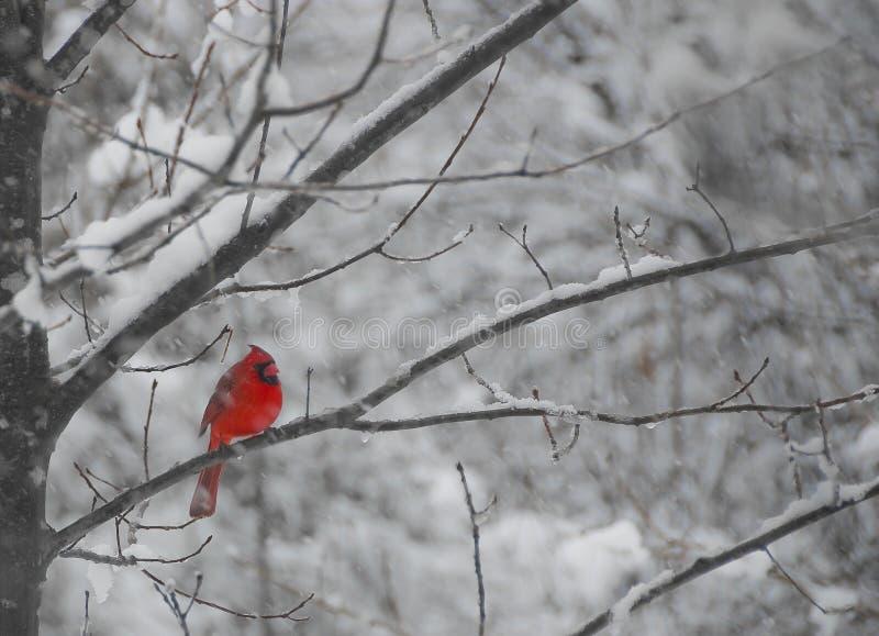 Herr kardinal royaltyfri bild