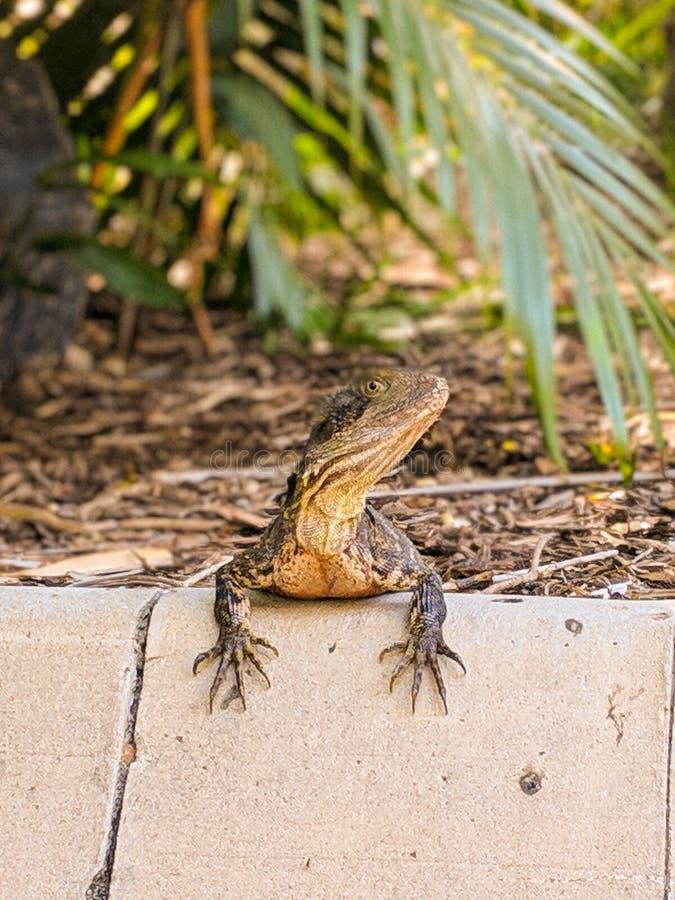 Herr Lizard Jr stockfotos