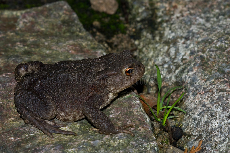 Herr Toad royaltyfri foto
