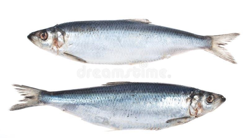 Herring. Fresh herring on white background stock photography