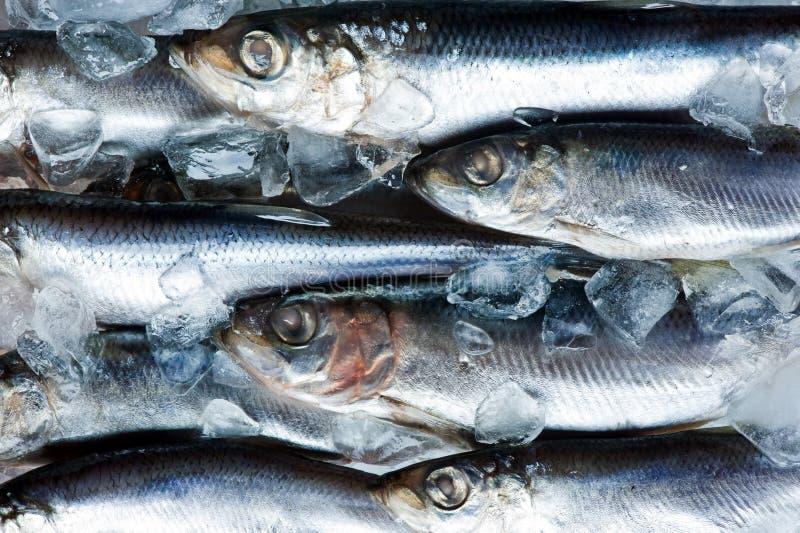 Herring. Fresh herring on ice close up royalty free stock photos