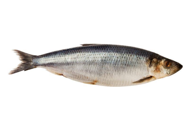 Herring fish stock image
