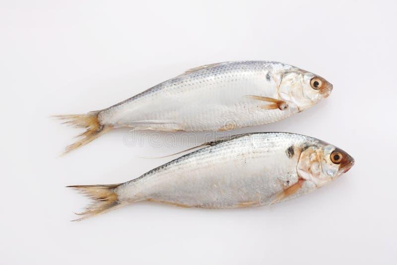 Herring fish stock photos