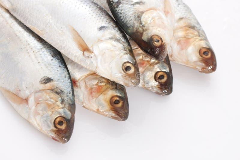 Herring fish. Fresh herring fish on white background royalty free stock photo