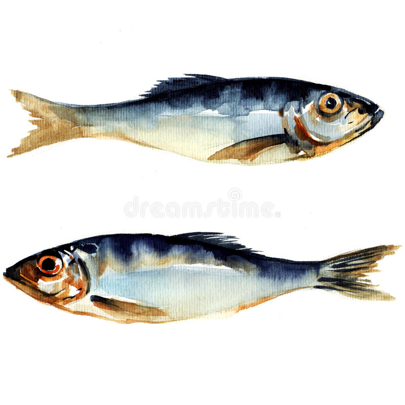 Herring fish. watercolor painting. On white background vector illustration