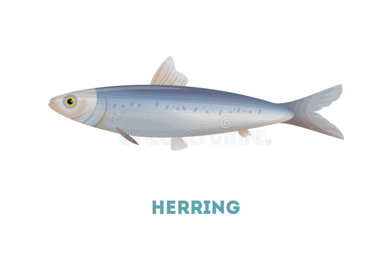 Herring fish. Herring fish on white background. Seafood vector illustration