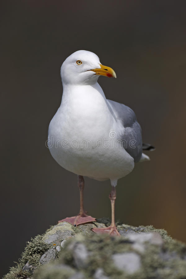 Herring Gull. Larus argentatus perched on a rock on Skomer royalty free stock photos