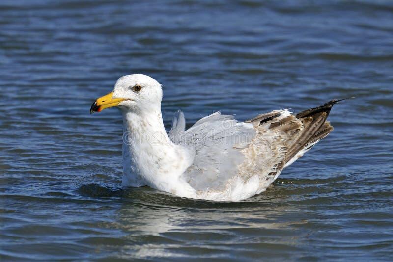 Herring Gull. Floating in the bay stock photo