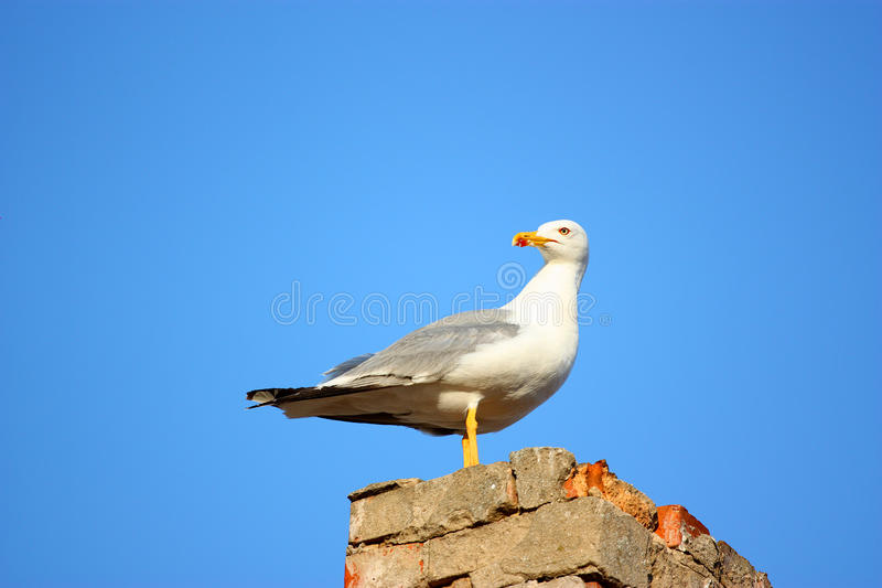Download Herring-gull stock image. Image of mouth, nature, brick - 20351523