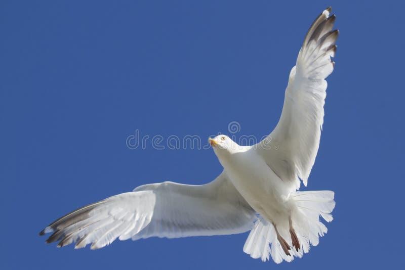 Download Herring Gull stock photo. Image of herring, yellow, europe - 20921796