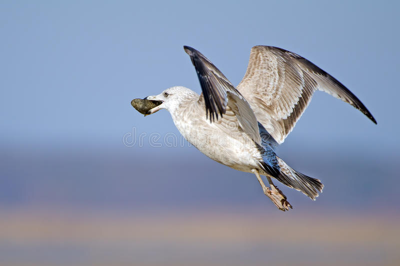 Download Herring Gull Royalty Free Stock Photography - Image: 23227657