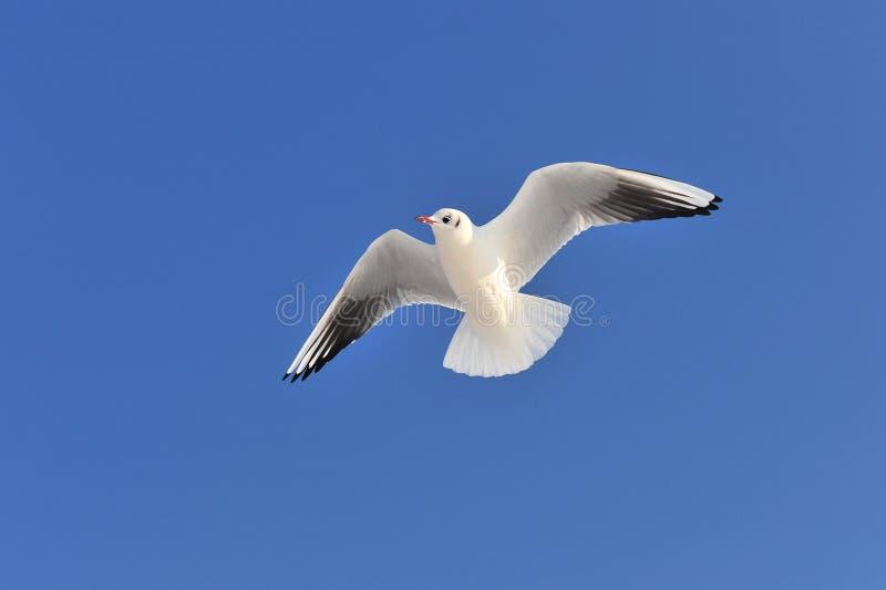 Download Herring gull stock photo. Image of bird, flying, ocean - 23346424