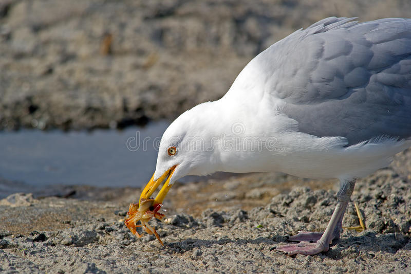 Download Herring Gull stock image. Image of herring, marine, mouth - 23533587