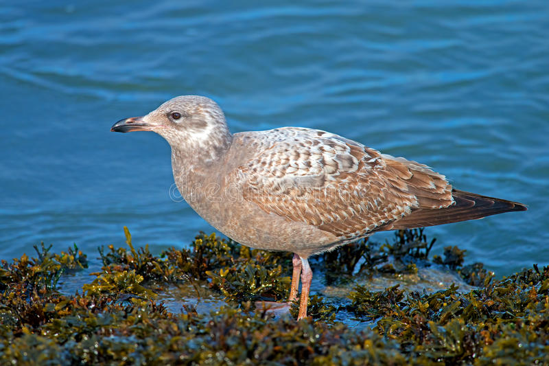 Herring Gull. Sitting on a jetty royalty free stock images