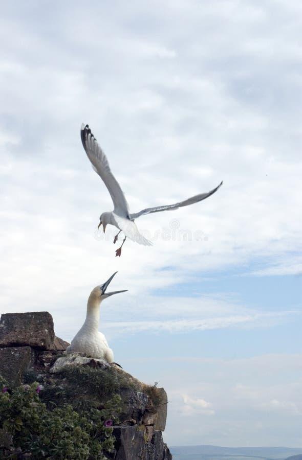 Free Herring Gull Attacking Gannet Stock Images - 14882394