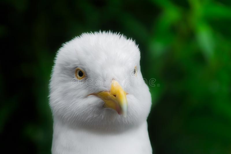 Herring gull bad hair day. Close up portrait head shot of a herrig gull having a bad hair day in the rain stock image