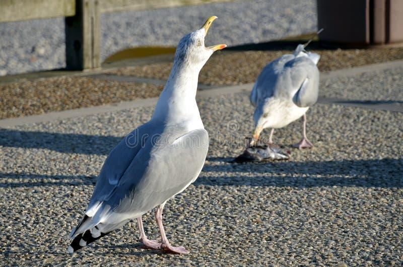 Herring gull the beak open. Closeup herring gull (Larus argentatus) the beak open on pebble stock images