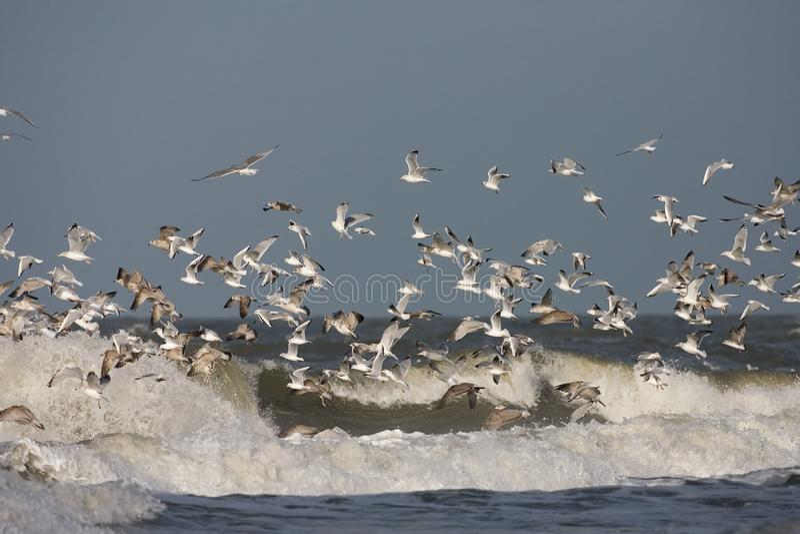 Herring Gull and Black-headed Gull, Zilvermeeuw en Kokmeeuw, Larus argentatus and Larus ridibundus. Flock of Herring Gull and Black-headed Gull in surf; groep royalty free stock photos