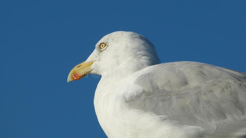 Herring gull with blue background royalty free stock photography