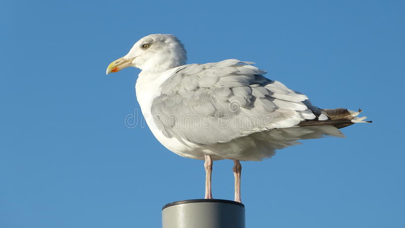 Herring gull with blue background stock photos