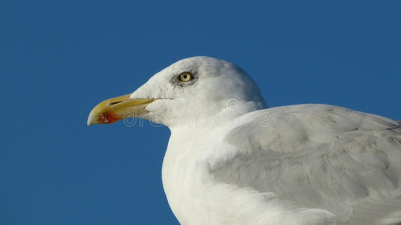Herring gull with blue background royalty free stock images
