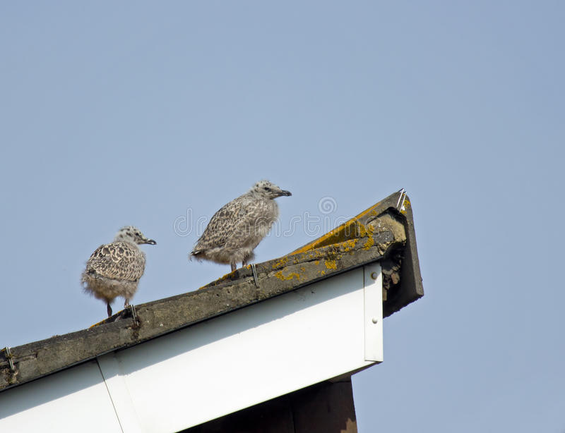 Herring Gull Chicks. Pair of young Herring Gull chicks on roof, not yet fledged royalty free stock photos
