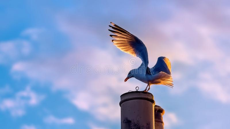 Herring gull on a chimney in evening light. Herring gull on a chimney with evening light glowing in the feathers of his wings stock photo
