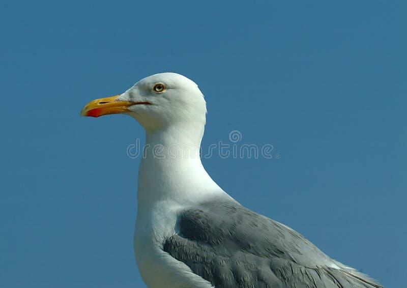 Herring Gull 1. Herring Gull in close up stock image