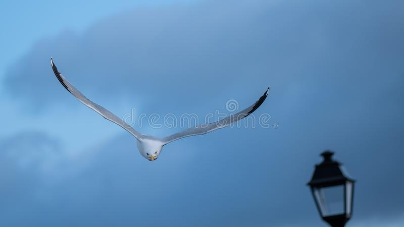 Herring gull diving from the sky stock photography