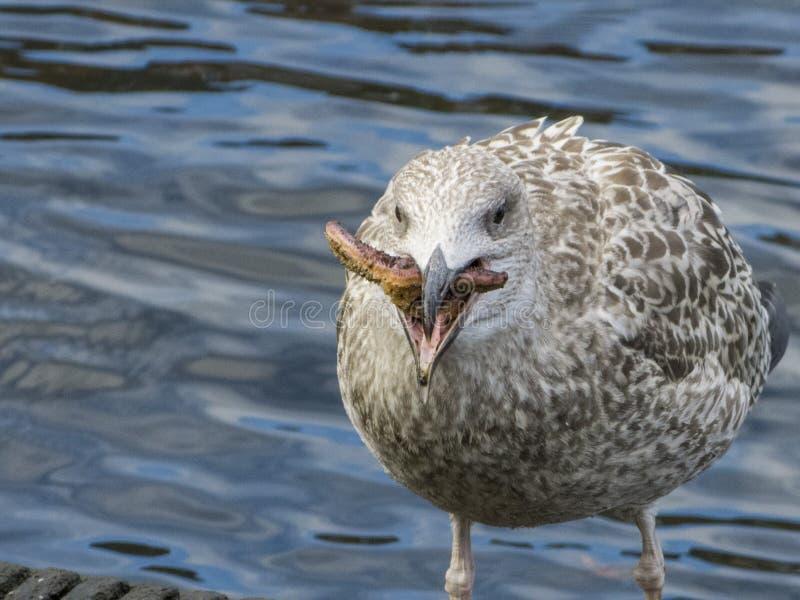 Herring gull eats a starfish royalty free stock photography