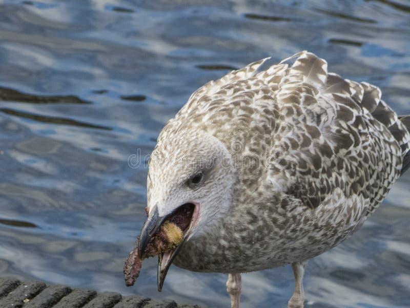 Herring gull eats a starfish royalty free stock photo