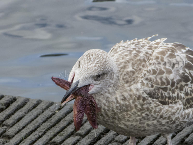 Herring gull eats a starfish stock photo