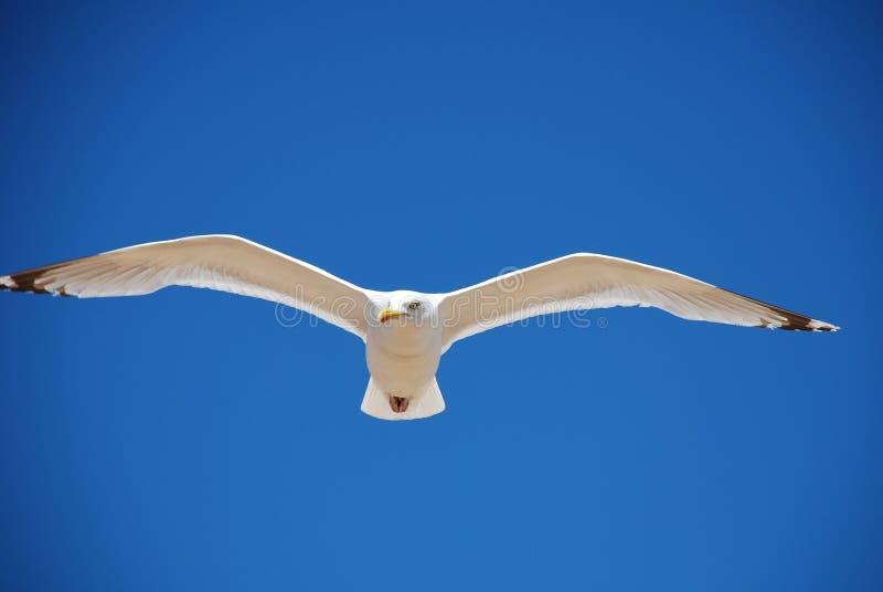 Herring Gull in flight stock image