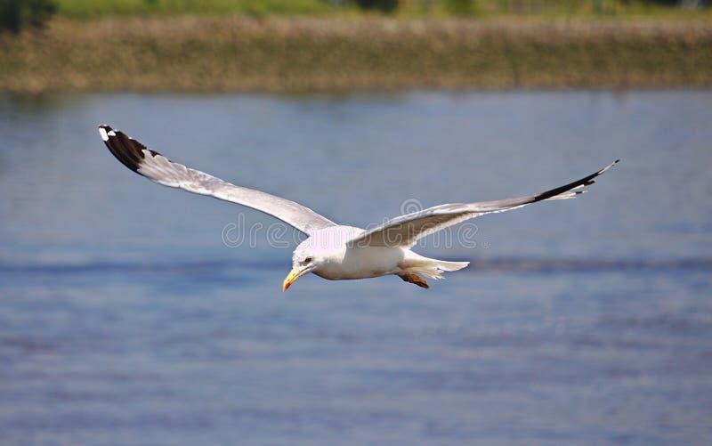 Herring gull in flight royalty free stock images