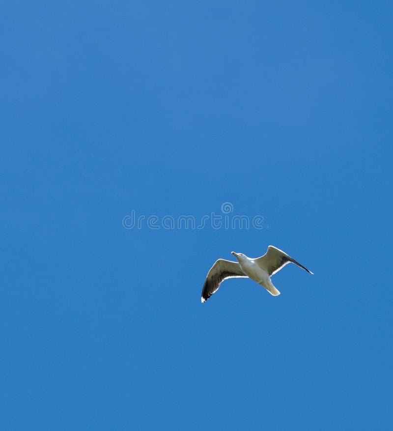 Blue sky herring gull. A herring gull flying in a deep blue sky stock images