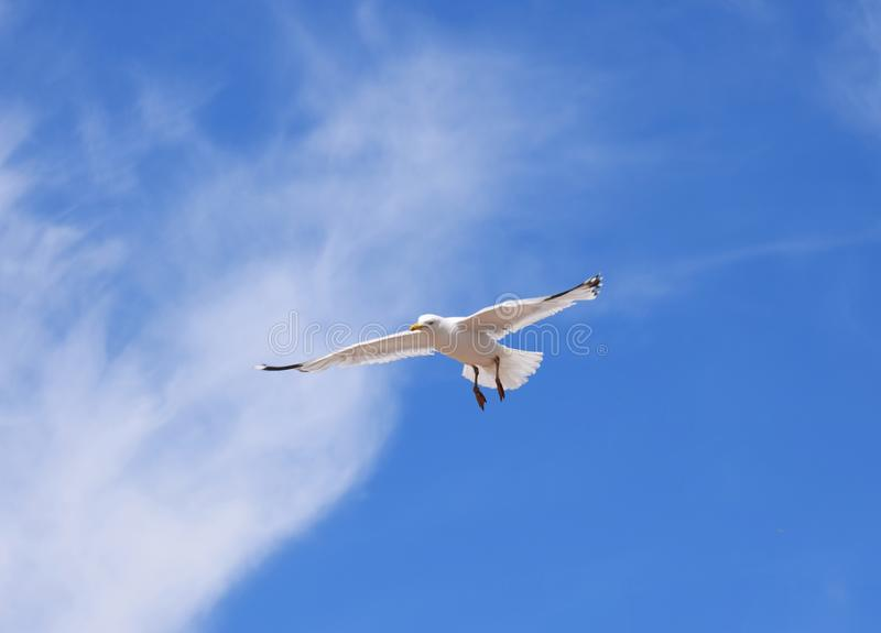 Herring Gull Flying in the Sky. An adult Herring Gull hovering in blue skies with white cloud royalty free stock photo