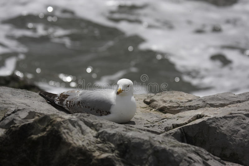 Download Herring gull stock image. Image of grey, seaside, avian - 31472063