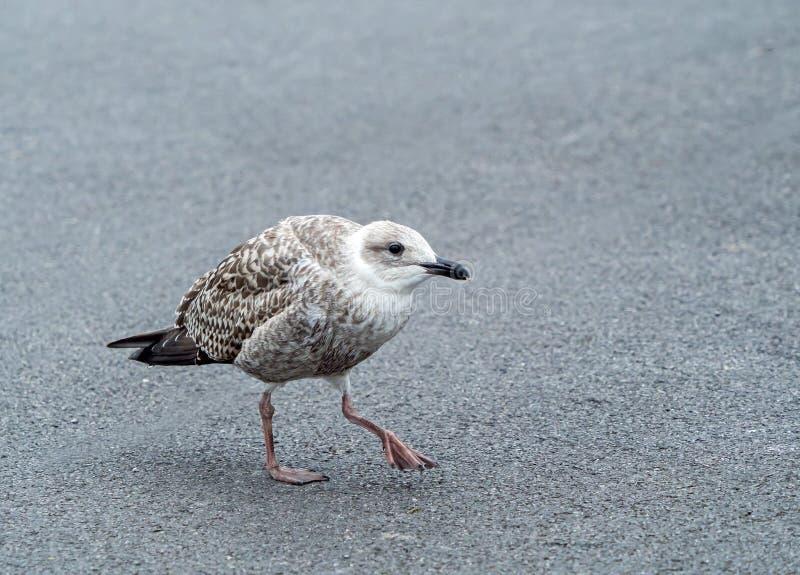 Herring Gull Juvenile Begging for Food stock photos