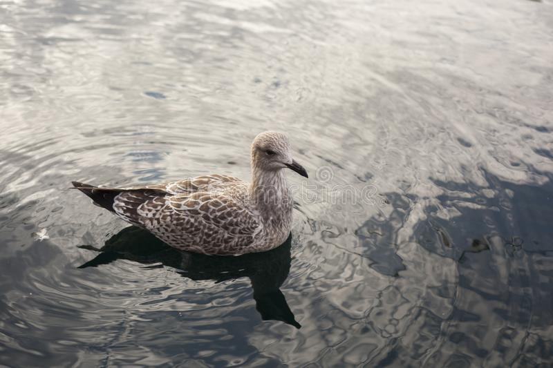 Herring Gull in a lake. Herring Gull floating on the lake in a Japanese garden in Scarborough,UK royalty free stock photos