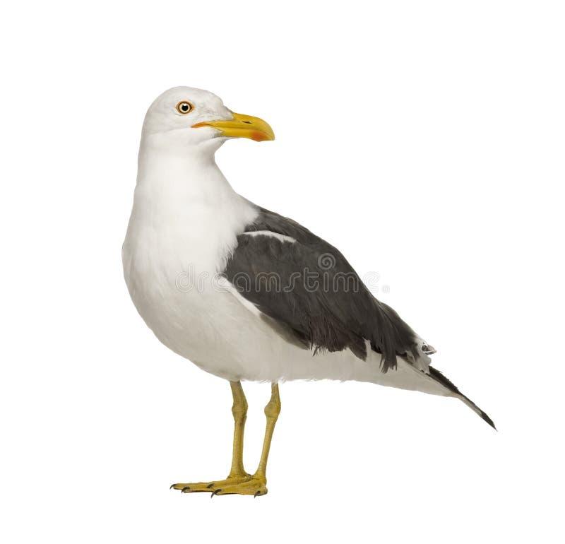 Download Herring Gull - Larus Argentatus (3 Years) Stock Photo - Image: 6075130